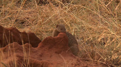 Mongoose and pups in a termite mound Stock Footage