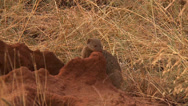 Stock Video Footage of mongoose and pups in a termite mound