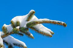 Snowy Pine Bough - stock photo