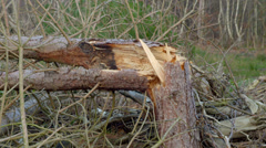 Trees damaged, caused by high winds from hurricane storm - stock footage