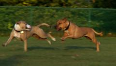 Two Dogs running in the park Stock Footage