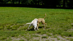 Two dogs wrestling Stock Footage