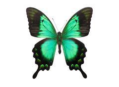 Butterfly Papilio Palinurus - stock photo