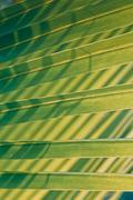 coconut leaf backside light in the morning - stock photo