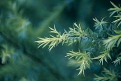 golden bottle brush, river tea tree, black tea tree, prickly leaved tea tree, - stock photo