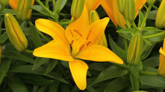 close up of a yellow lilly in full bloom - stock footage