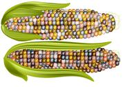 Stock Illustration of color corn