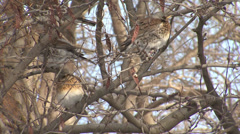 Thrushes in the snow winter Stock Footage