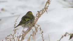 Finches Eurasian Siskin in the snow winter. Stock Footage