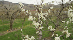 Camera Move, Prune Blossoms, Okanagan - stock footage