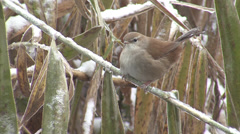 Small bird in snow winter storm perching in reeds, Cetti's Warbler Stock Footage