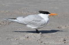 Endangered royal tern (sterna maxima) Stock Photos
