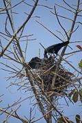 Stock Photo of nest of a house crow, corvus splendens with young ones, india