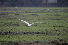 Stock Photo of cattle egrets bubulcus ibis, paddy field, goa, india