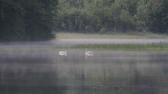 Swamp fog swans wafts of mist long shot Stock Footage