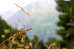 Ears of yellow grass growing on the meadow Stock Photos