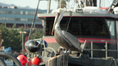 California Brown Pelican On Pier Stock Footage