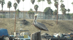 California Brown Pelican Perched On Pier Stock Footage