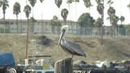 Stock Video Footage of California Brown Pelican Perched On Pier