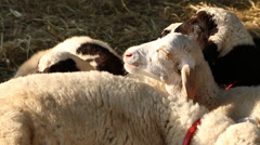 Sheep eating rice straw in farm Stock Footage