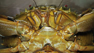 Stock Video Footage of 212 Live shellfish, mud crab trying to survive, breath in captivity
