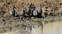 Helmeted guinea-fowls Stock Footage