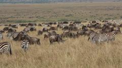 Wildebeest and zebras grazingon the grasslands of Masai Mara, Kenya Stock Footage