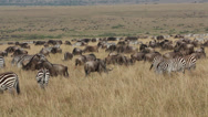 Stock Video Footage of Wildebeest and zebras grazing