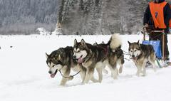 sled dog race alaskan malamute - stock photo