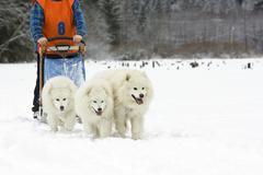 samoyed dogs - dog sledge - stock photo