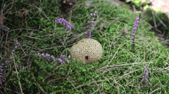 The Common Puffball or Devil's Snuff-box in green moss. No.01 Stock Footage