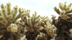 Cholla Cactus Stock Footage