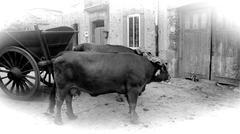 oxen bullock-cart - stock photo