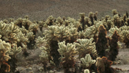 Stock Video Footage of Cholla Cactus
