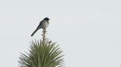 Bird sits on Top of Joshua Tree in Joshua Tree National Park, California Stock Footage