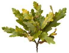 oak leaves, quercus robur - stock photo