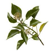 Common ivy, hedera helix Stock Photos