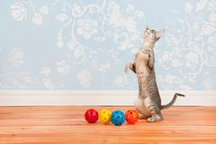 Stock Photo of tabby siamese cat with vintage wall paper