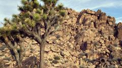Joshua Tree in Mojave Desert Stock Footage