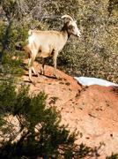 Wild animal alpine mountain goat sentry protecting band flank forest Stock Photos