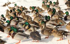 Mallard ducks background Stock Photos