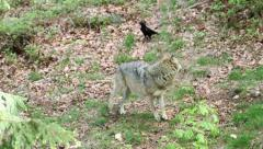 Wolf frightend by crow Stock Footage