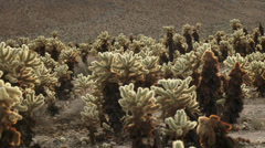 4K Cholla Cactus Stock Footage