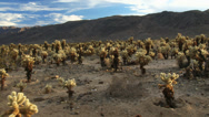 Stock Video Footage of Desert full of Cholla Cactus, 4K