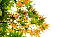 Stock Photo of maple leaves