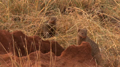 Mongoose pups pop out of a termite mound Stock Footage