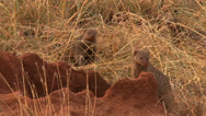 Stock Video Footage of mongoose pups pop out of a termite mound