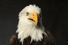 studio portrait of bald eagle - stock photo