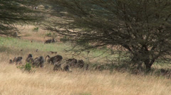 Bouncy baby olive baboons in the grasslands Stock Footage
