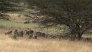 Stock Video Footage of bouncy baby olive baboons in the grasslands